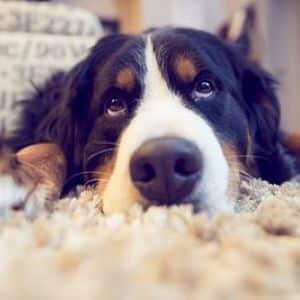vómito amarillo y diarrea en perros