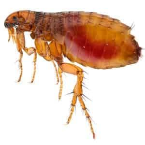 Tipos de pulgas en perros