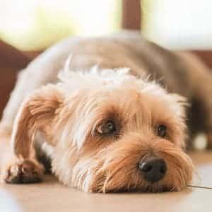 insuficiencia renal en los perros