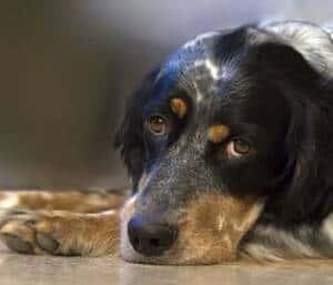 leptospirosis perros notasdemascotas opt 1