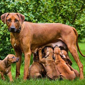 mastitis en los perros