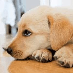 Coccidiosis en los perros