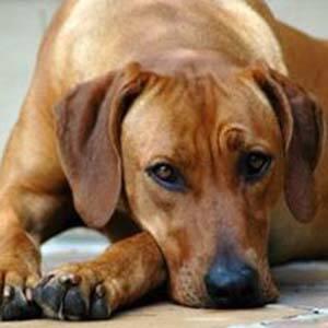 Gastritis en los perros